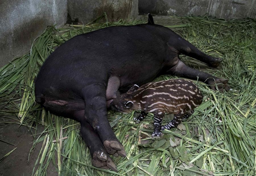 En imágenes: Nace en Nicaragua nuevo tapir en cautiverio, especie en peligro de extinción