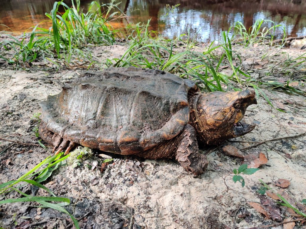 ¿Es tortuga o caimán? Mira el extraño animal que hallaron en Florida