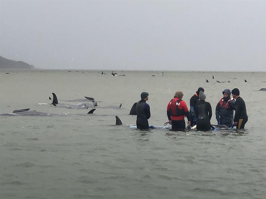 Al menos 380 ballenas han muerto en Australia tras varamiento en bancos de arena
