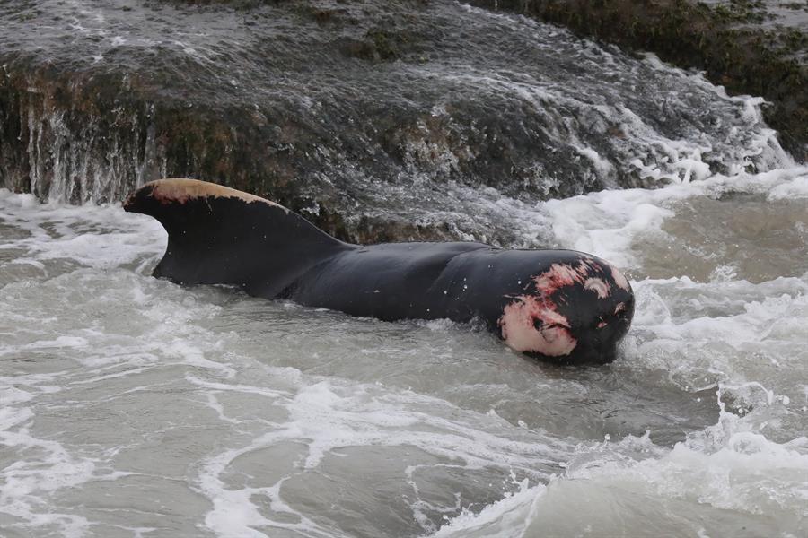 Salvan a 120 ballenas varadas con la ayuda de cientos de voluntarios en Sri Lanka