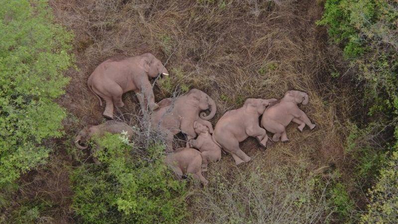 ¿A dónde se dirigen los 15 elefantes salvajes de China que han recorrido más de 500 kilómetros?